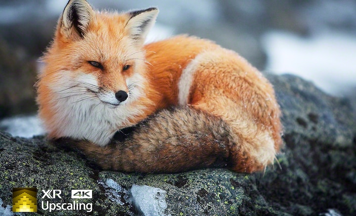 Slika lisice koja pokazuje 4K jasnoću