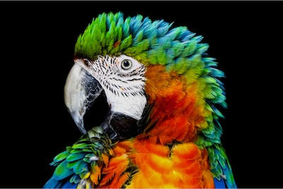 Detalj papige na klasičnom OLED zaslonu